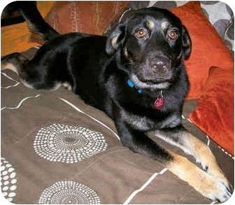 Labrador Retriever/German Shepherd Dog Mix Dog for adoption in Latrobe, Pennsylvania - Dudley