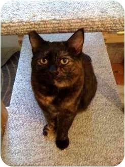 Domestic Shorthair Cat for adoption in Fountain Valley, California - Nadia