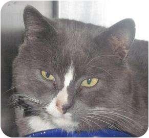 Domestic Shorthair Cat for adoption in Brattleboro, Vermont - Grayson