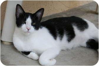 Domestic Mediumhair Kitten for adoption in Naples, Florida - Domino