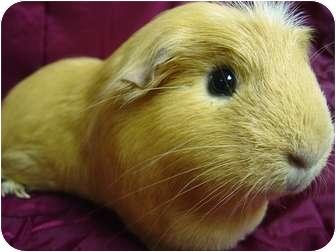 Guinea Pig for adoption in Edinburg, Pennsylvania - Honey