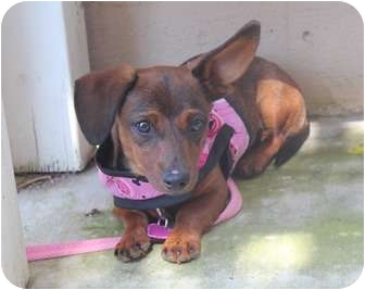 Dachshund Puppy for adoption in Los Angeles, California - Paisley