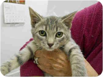 Domestic Shorthair Kitten for adoption in San Clemente, California - ROSEMARYA021861