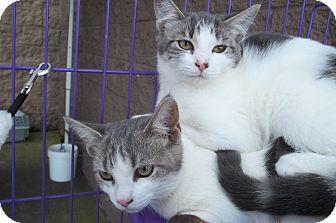 Domestic Shorthair Cat for adoption in Acme, Pennsylvania - Sydney