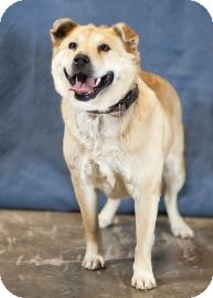 Chow Chow/Golden Retriever Mix Dog for adoption in Broomfield, Colorado - Goldie