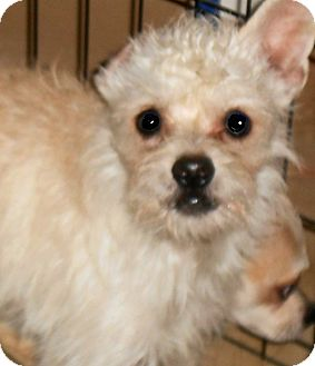 Poodle (Miniature)/Yorkie, Yorkshire Terrier Mix Puppy for adoption in Oswego, Illinois - I'M ADOPTED Lil Pnuts Charlie