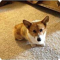Adopt A Pet :: Scooter - Greenville, SC