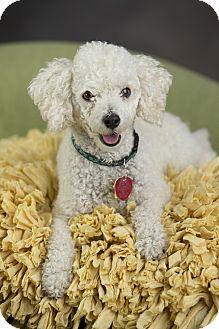 Miniature Poodle Dog for adoption in Anchorage, Alaska - Jack