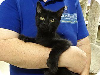 Hemingway/Polydactyl Kitten for adoption in Diamond Bar, California - SEBASTIAN