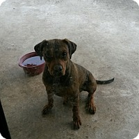 Adopt A Pet :: BOBBY JR - Hollywood, FL