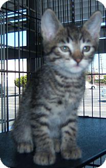 Domestic Shorthair Kitten for adoption in Whittier, California - Link