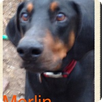 Adopt A Pet :: Merlin - Wichita, KS