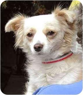 Pomeranian/Spaniel (Unknown Type) Mix Dog for adoption in Rolling Hills Estates, California - Cotton