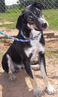 German Shepherd Dog/Border Collie Mix Dog for adoption in Wichita Falls, Texas - Pal