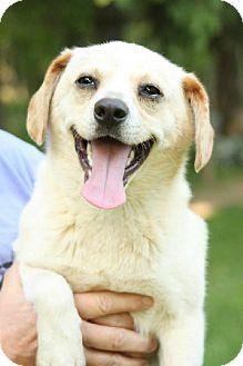 Feist/Labrador Retriever Mix Dog for adoption in Cool Ridge, West Virginia - Odie