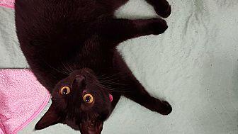 Domestic Shorthair Cat for adoption in Barnwell, South Carolina - Ava