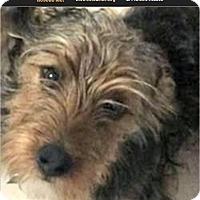 Adopt A Pet :: Heidi - Lancaster, TX