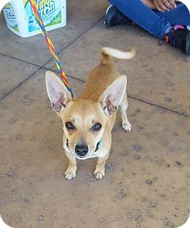 Chihuahua Mix Dog for adoption in Las Vegas, Nevada - Cody