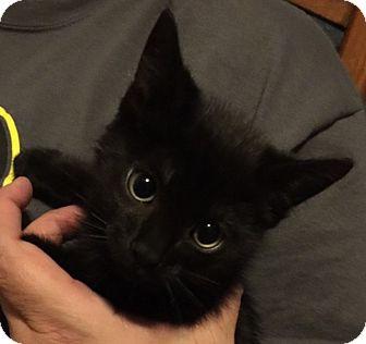 Domestic Shorthair Kitten for adoption in Meridian, Idaho - Jett