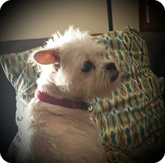 Maltese/Westie, West Highland White Terrier Mix Dog for adoption in Albuquerque, New Mexico - TAFFY