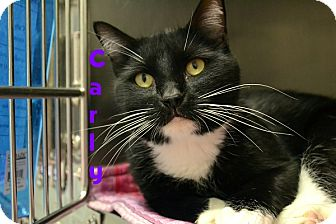 Domestic Shorthair Cat for adoption in Las Vegas, Nevada - Carly
