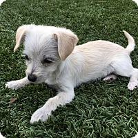 Adopt A Pet :: Trinket - San Diego, CA