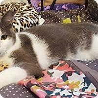Domestic Shorthair Cat for adoption in Irwin, Pennsylvania - Turetto