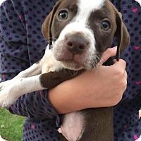 Adopt A Pet :: ASH - greenville, SC