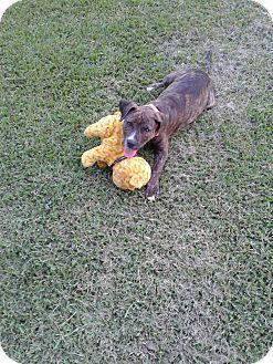American Bulldog Mix Puppy for adoption in Marshall, Texas - Nichole