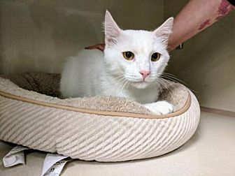 Domestic Shorthair Cat for adoption in Littleton, Colorado - Alabaster