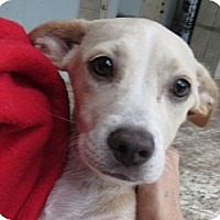 Adopt A Pet :: Danni! Adorable Puppy! - St Petersburg, FL