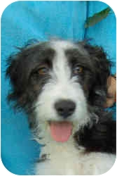 Border Collie/Airedale Terrier Mix Puppy for adoption in Somerset, Kentucky - Bingo