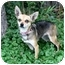 Photo 3 - Chihuahua Dog for adoption in Ile-Perrot, Quebec - Serta