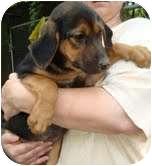 Shepherd (Unknown Type) Mix Puppy for adoption in Portland, Maine - Mars