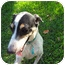 Photo 1 - Jack Russell Terrier/Greyhound Mix Dog for adoption in Ocean Ridge, Florida - Swali