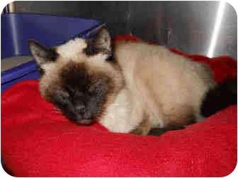 Siamese Cat for adoption in San Clemente, California - LOWELLA