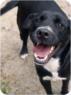 Labrador Retriever Mix Dog for adoption in Brooksville, Florida - Mia