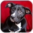 Photo 1 - Pit Bull Terrier Mix Puppy for adoption in Clarksburg, Maryland - Joey