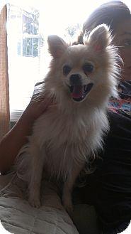 Pomeranian Dog for adoption in Mt Gretna, Pennsylvania - Lonnie