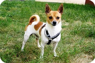 Chihuahua/Rat Terrier Mix Dog for adoption in Norwalk, Connecticut - Fred