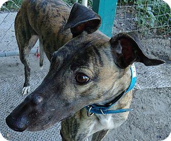 Greyhound Dog for adoption in Longwood, Florida - Ice Demi
