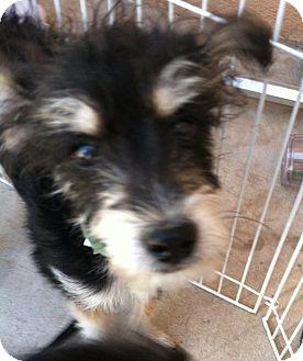 Schnauzer (Miniature)/Poodle (Miniature) Mix Puppy for adoption in Phoenix, Arizona - Fritz