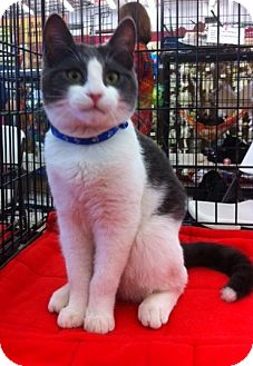 Domestic Shorthair Kitten for adoption in Sacramento, California - Angel L