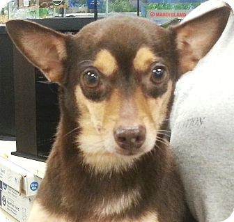 Miniature Pinscher/Chihuahua Mix Dog for adoption in Orlando, Florida - Carissa