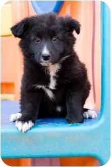 Border Collie Mix Puppy for adoption in Portland, Oregon - Plum