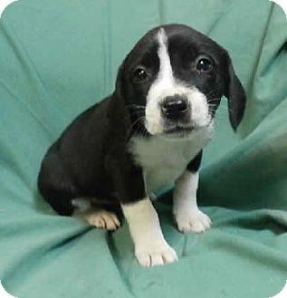 Labrador Retriever Mix Puppy for adoption in Avon, New York - Lindsey