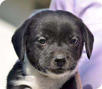 Cattle Dog/Dachshund Mix Puppy for adoption in Pleasanton, California - Oreo