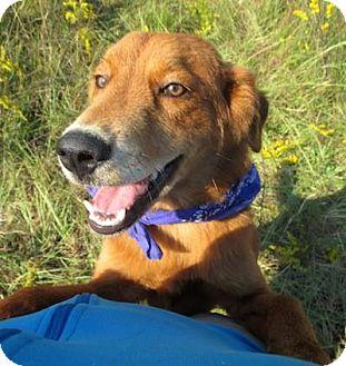 Golden Retriever/Labrador Retriever Mix Dog for adoption in Kimberton, Pennsylvania - Shelton
