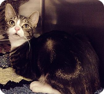 Domestic Shorthair Cat for adoption in Colonial Heights, Virginia - Jade
