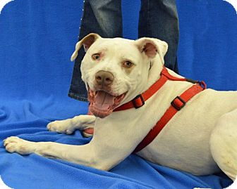 American Staffordshire Terrier/Boxer Mix Dog for adoption in Warren, Michigan - Venus - the love Goddess